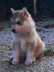 Bildhübsche Schäferhund - Husky Welpen