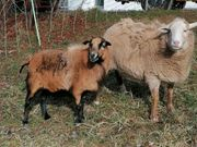 2 Schafe abzugeben