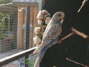 Wellensittiche und Nymphensittiche -nestjung-