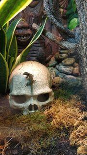 0 2 Lygodactylus williamsi Weibchen