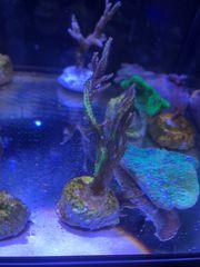 Korallen Sps Seriatopora hystrix