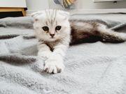 Bkh scottish fold kitten Whiskas