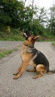 Deutscher Schäferhund weiblich 12 Monate