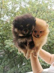Pomeranian Zwergspitz Black tan und
