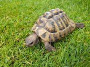 Griechische Schildkröte Landschildkröte aus 2005