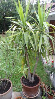Yukka-Palme 1 80m mit hochwertigem