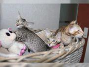 4 Orientalisch kurzhaarr kitten