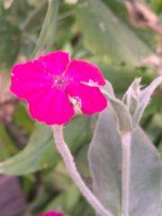 Pflanzen der Kronen-Lichtnelke - Arterhaltung