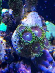 Meerwasser Krusten Zoanthus