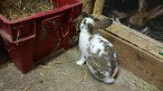 Kaninchen Stallhasen Stallkaninchen Hasen