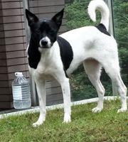 Taiwan Mountain Dog sucht ein