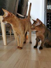 Abessinier Katzen