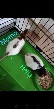 2 Ratten Weibchen suchen ein
