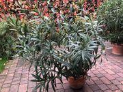 großer roter Oleanderbusch