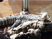Schwarz-Weiße Teju Tupinambis merianae