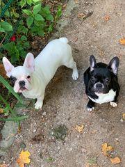 Französische Bulldoggen Welpen Weiß und