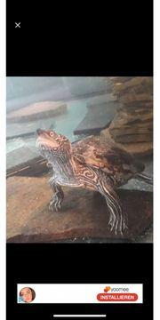 2 Wasserschildkröten abzugeben