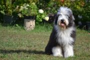 Bearded Collie ein Faible für