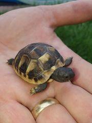 Griechische Land-Schildkröte Babys Land-Schildkröte