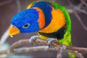 1x Rotnackenlori Handzahm handaufzucht Papagei