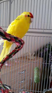 Gelber Ziegensittich-Hahn zu verkaufen