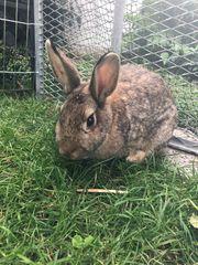 Kaninchen sucht liebevolles neues Zuhause