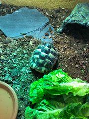 2 Tunesische Landschildkröten