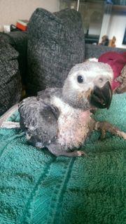 Graupapagei Papageien Baby superzahm in