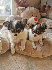 Reinrassige Chihuahuababys mit Ahnentafel