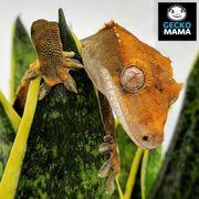 Wunderschönes Kronengecko Männchen zu verkaufen