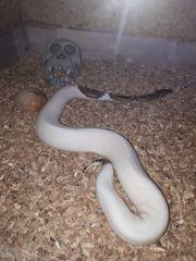 königspython pied high white 0