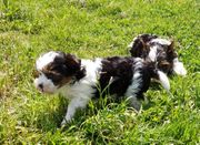 Biewer Yorkshire Terrier Hündin Welpe