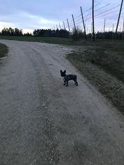 Suche Zweithündin Zweithund Französische Bulldogge