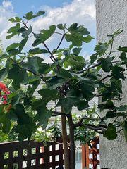 Feigenbaum Hochstamm in gr Pflanzkübel