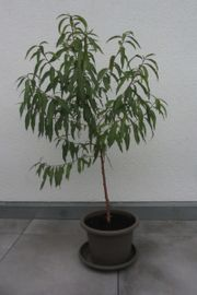3 Stück Pfirsich Pfirsichbaum Höhe