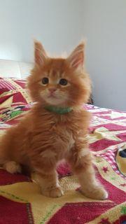 Wunderschöne Reinrassiger Maine Coon Kitten
