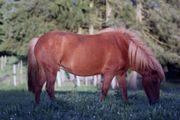 Isländer Pony Stute