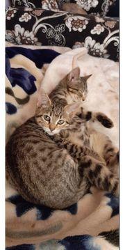 Bengal bkh mix Kitten