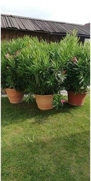 palmen oleander