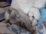 Wunderschöne reinrassige BKH Kitten in