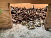 Schildkröten - Griechische Schildkrötenbabys Landschildkröten von