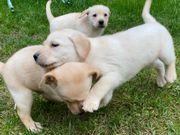 Labrador Welpen in blond abgabebereit