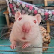 3 Ratten mit Käfig und