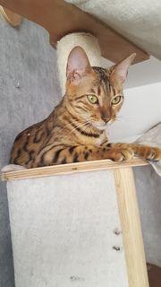 Tolle Bengal Katze sucht 18