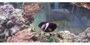Meerwasser Amphiprion melanopus