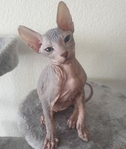 Reinrassige Don Sphinx Kitten