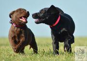 Labrador Welpe - Hündinnen - in schwarz