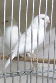 Verschiedene Kanarienvögel Rasse und Farbe