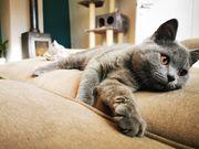BKH Kätzchen suchen noch einen