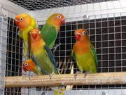 Pfirsichköpfchen mit DNA-Geschlechtsbestimmung Jungvögel 2021